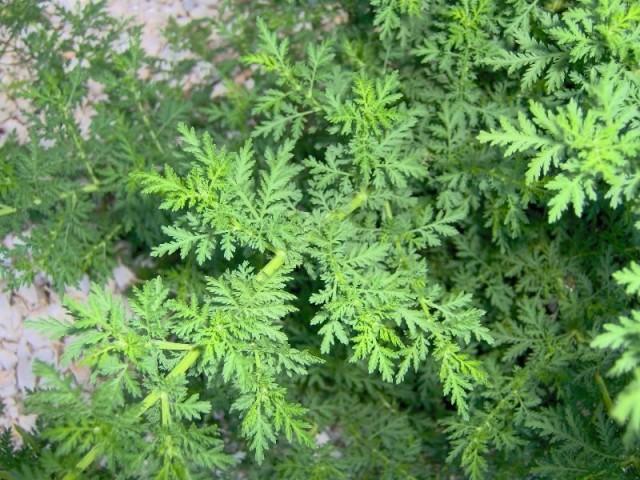 La cura del Cáncer: Una hierba que destruye el 98% de las células cancerígenas